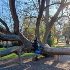 Gödöllői görbefa - minden éremnek két oldala van