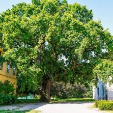 A perkátai nagy tölgyfa